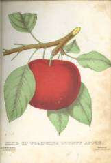"""King of Tompkins County Apple"" is an illustration from ""The Specimen Book of Fruits, Flowers and Ornamental Trees. Carefully Drawn and Colored from Nature for the Use of Nurserymen"" (Rochester: D.M. Dewey, 1872)."