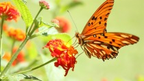 Butterflies_wallpapers_313