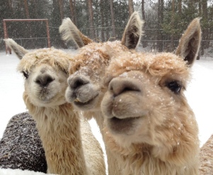 Our herd of suri 'pacas.