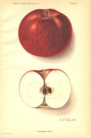 Shiawassee apple, a chance seedling of the Fameuse.