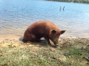 During his hiatus, however, Big Red enjoyed a cool bath in Cedar Lake.